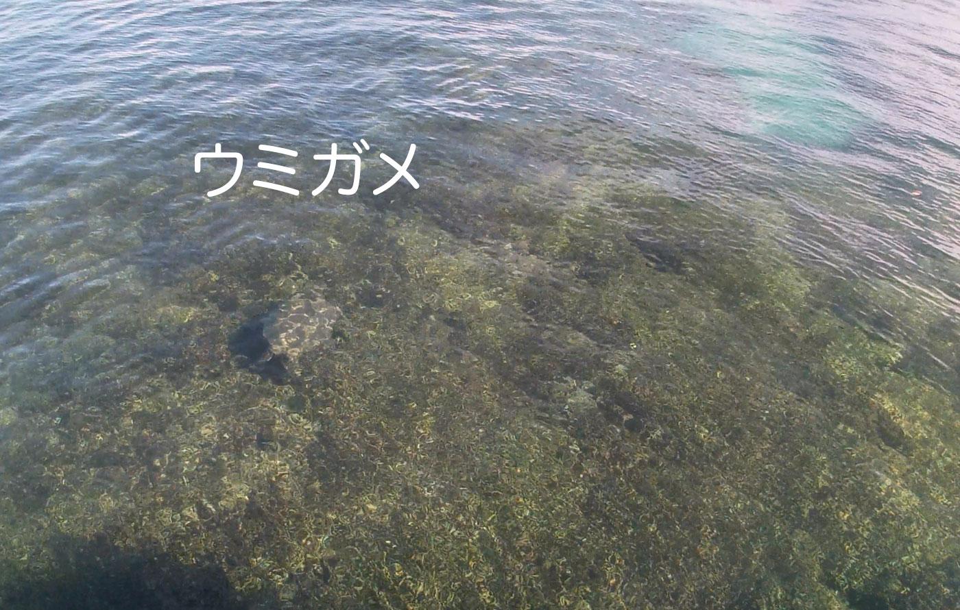 幸運の海ガメ